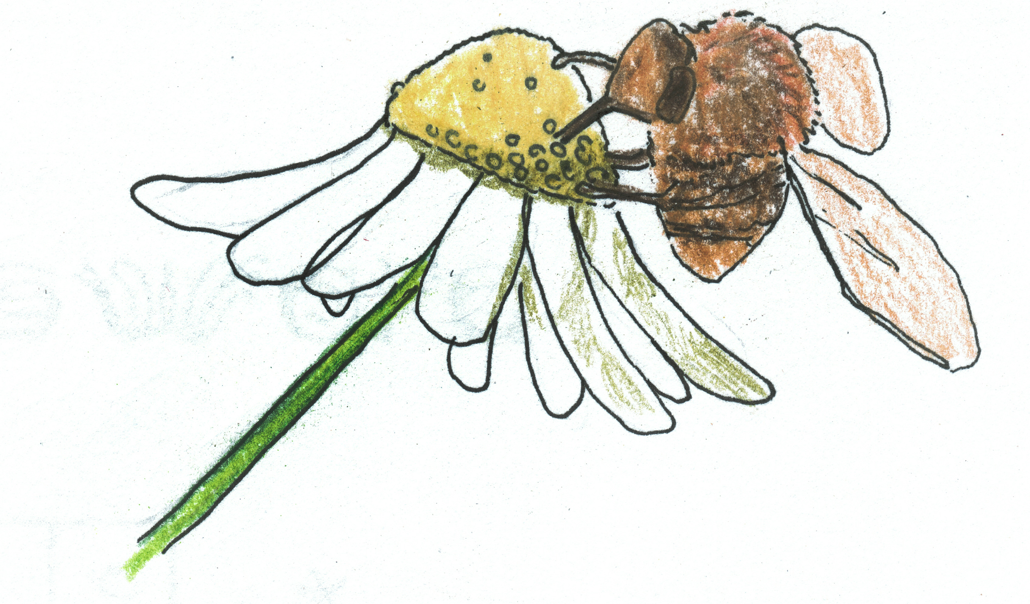 crossword - chamomile bee