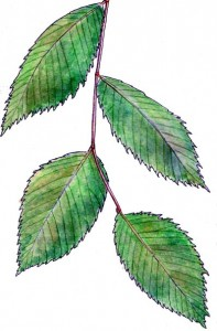 slippery-elm-leaves-3