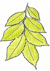 slippery-elm-leaves-5