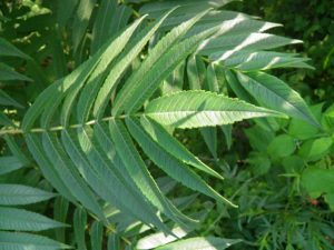 Rhus glabra leaves