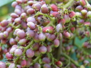 Rhus copallina (Winged Sumac) berries starting to ripen