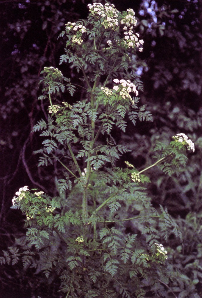 Poison Hemlock - William & Wilma Follette @ USDA-NRCS PLANTS Database / USDA NRCS