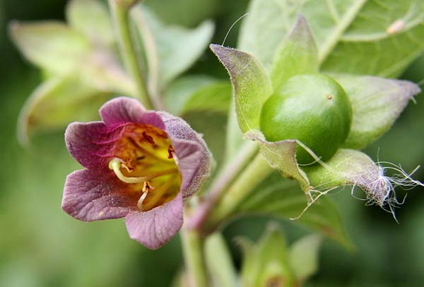 Atropa belladonna flower and unripe berry - Photo by Don Macauley