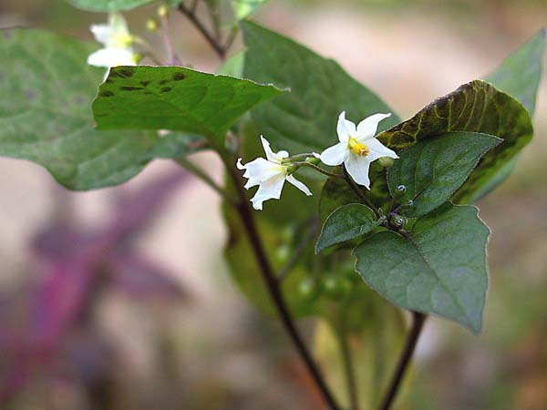 Solanum nigrum, Black Nightshade, which is often confused for Atropa belladonna. Photo by Juni from Kyoto, Japan