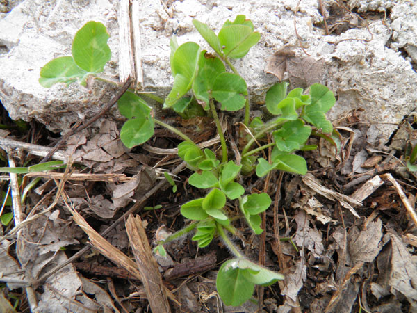 herbs-of-spring-red-clover