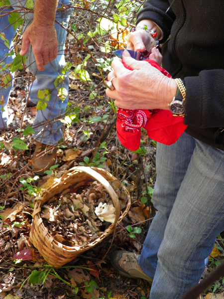 Harvesting Maitake mushrooms on an autumn walk. We harvest enough to enjoy them fresh and dry them for using throughout the winter in soups, stews and other dishes.