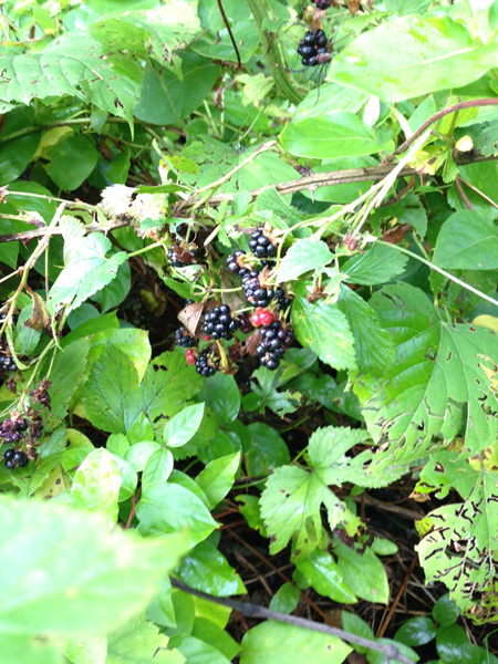 It's always exciting when the first Blackberries are ready for picking! Caution is needed as the prickles are vicious.