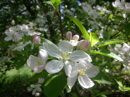 Malus spp. (Apple) is in the Rosaceae family.