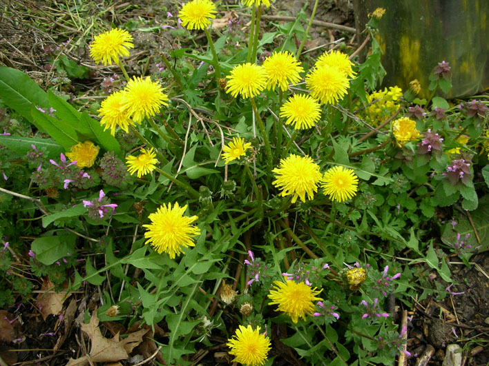 Taraxacum officinale (Dandelion) is a member of the Asteraceae family, Lamium amplexicaule (Henbit, on the lower left and right of photo) and  Lamium purpureum (Purple Dead Nettle) on the righthand side in the middle are both members of the Lamiaceae family.
