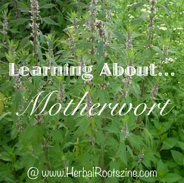 learning-about-motherwort