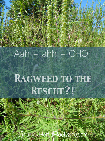 Aah-aah-CHO! Ragweed to the Rescue?!