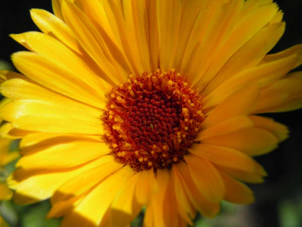 Calendula flowers make a great herbal oil.