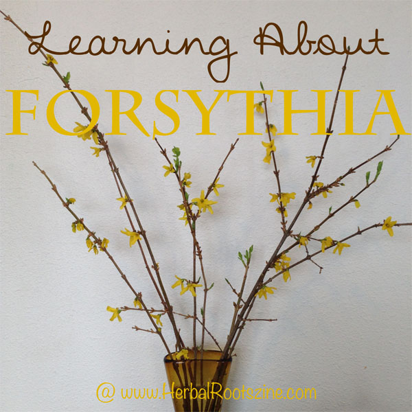 learning-about-forsythia