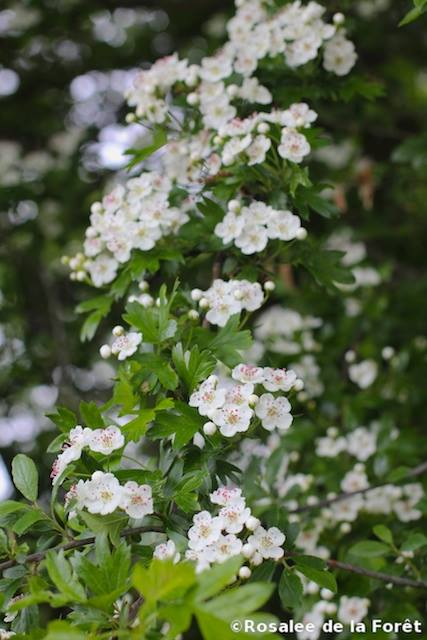Hawthorn tree blossoms photo by Rosalee de la Foret