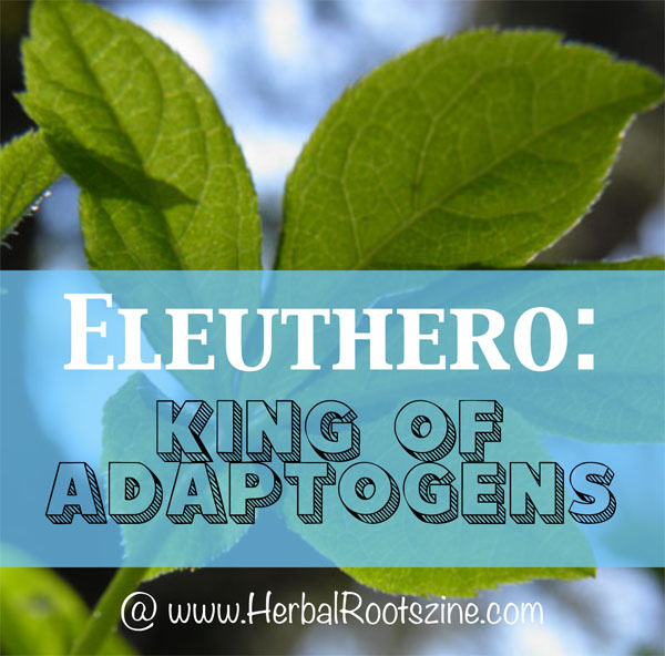 Eleuthero-King-of-Adaptogens