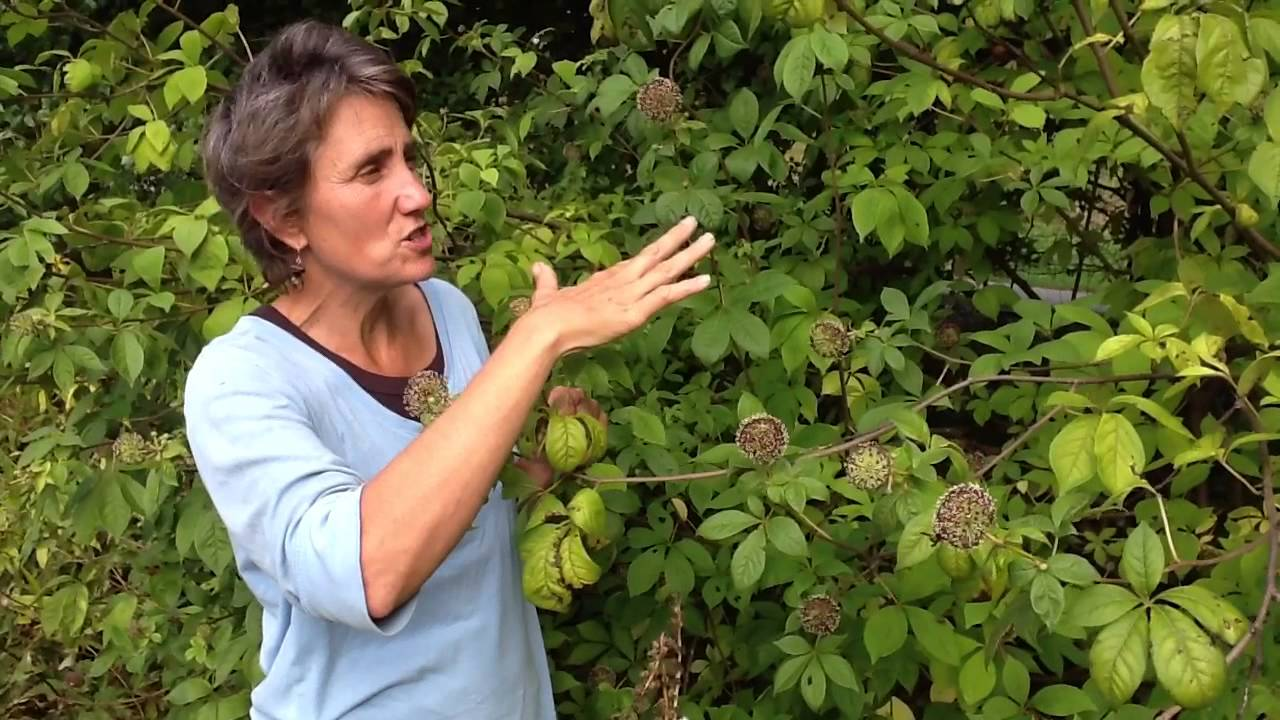 Herbalist Deb Soule with her beautiful Eleuthero plant in bloom. Check out her video: https://www.youtube.com/watch?v=Z0TpIjFr5nY