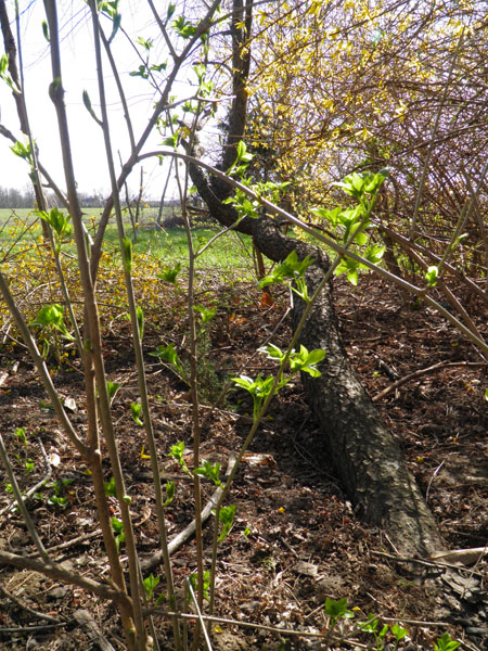 Eleuthero, leafing out in spring.
