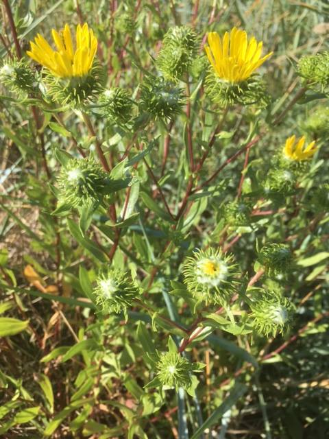 Grindelia-flower-and-buds-2