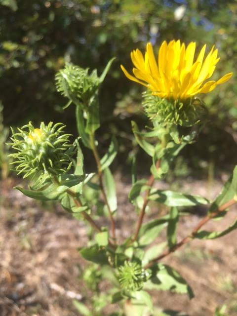 Grindelia-flower-and-buds-close-up