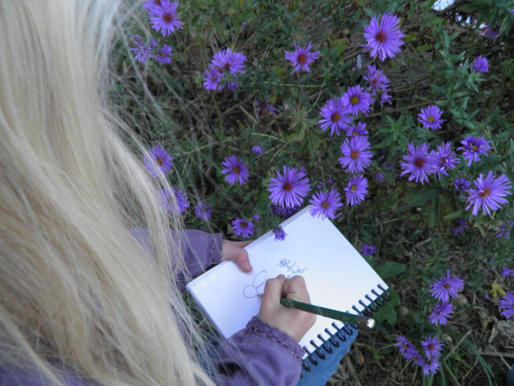 A young girl sketches a New England Aster flower.