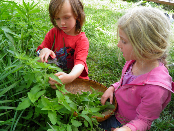 A young boy and girl use clippers and a basket to harvest catnip
