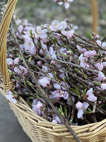 A basket full of pruned branches from a peach tree that is in bloom