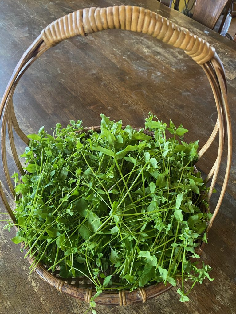 A basket with a handle full of fresh Chickweed sits on a wooden table